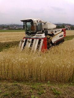 大麦収穫その2